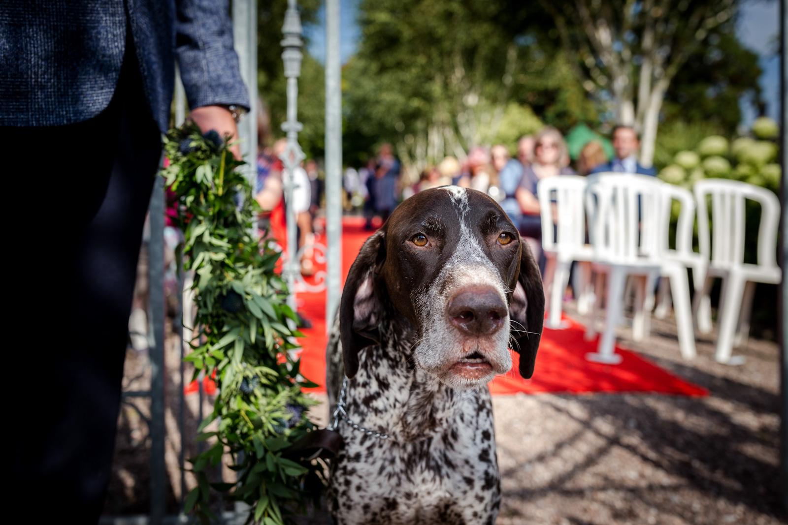 Wedding Dog during a Capesthorne Hall Wedding